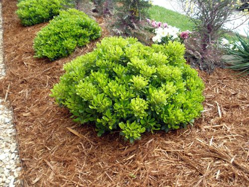 Pittosporum Wheeler S Dwarf Google Search Front Yard