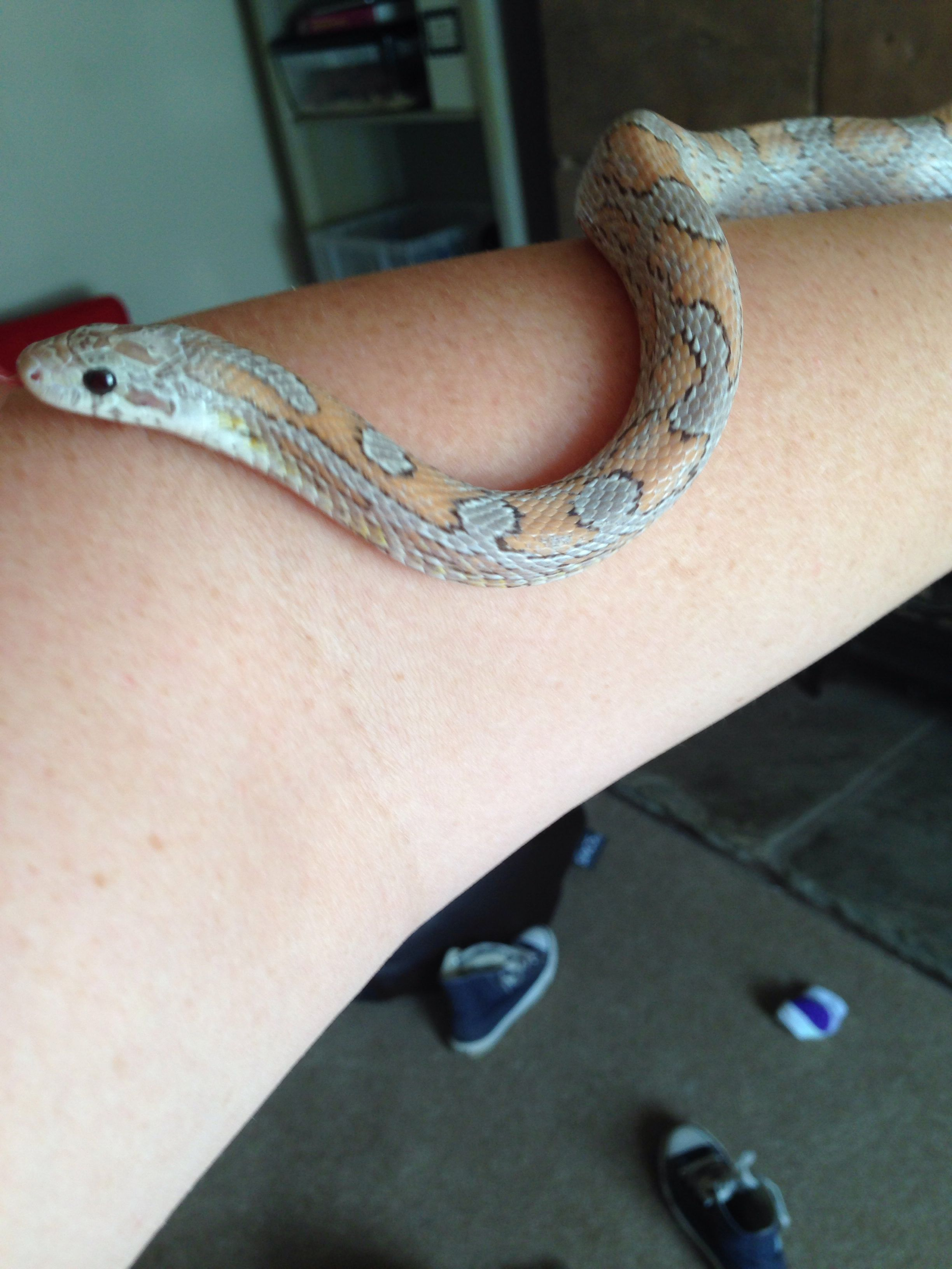 Harry. 2 year old Diffused Ghost corn snake.