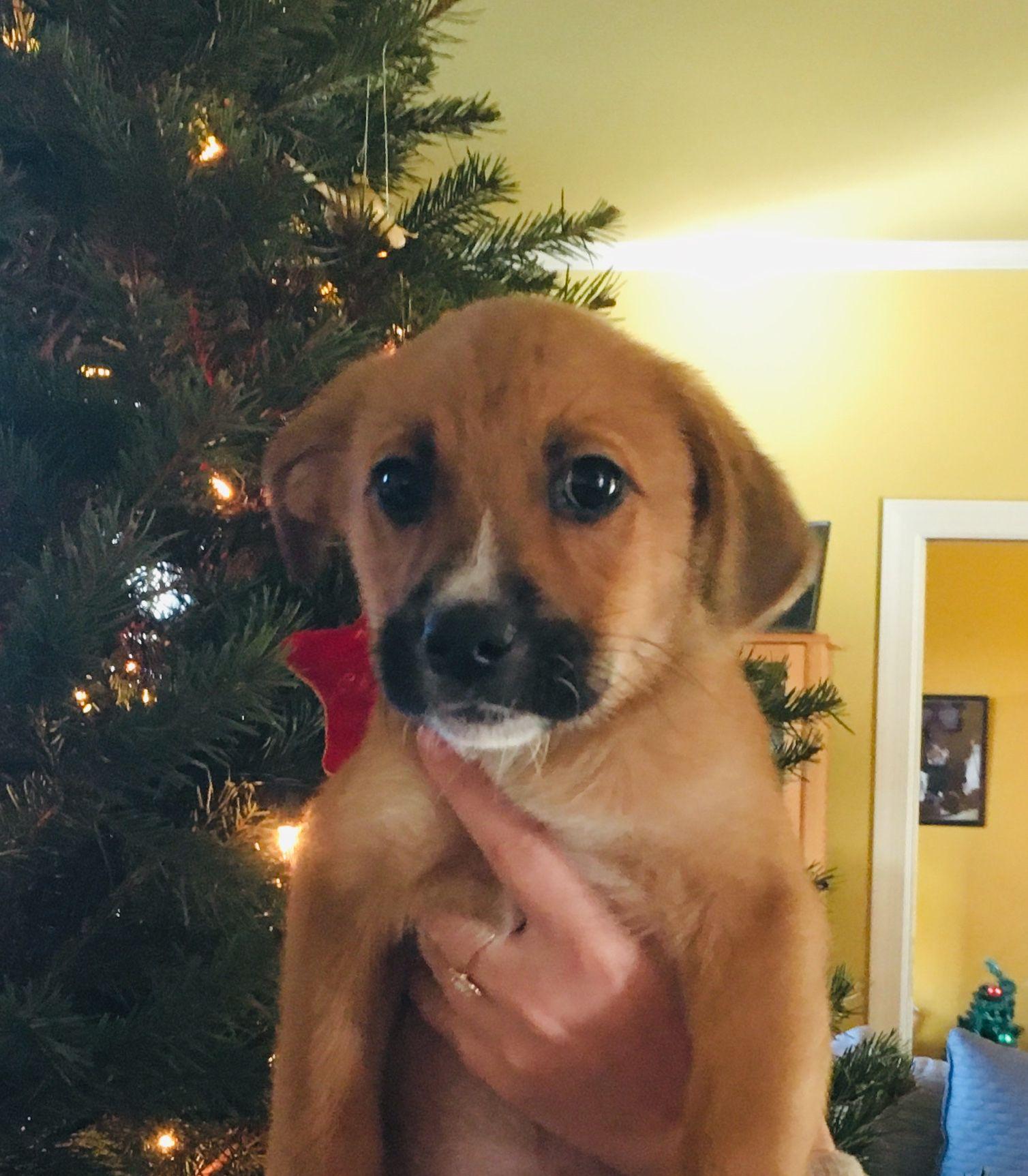 Adopt Chestnut On Petfinder Collie Puppies Border Collie Puppies Puppy Adoption