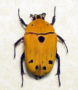 Madagascar beetle