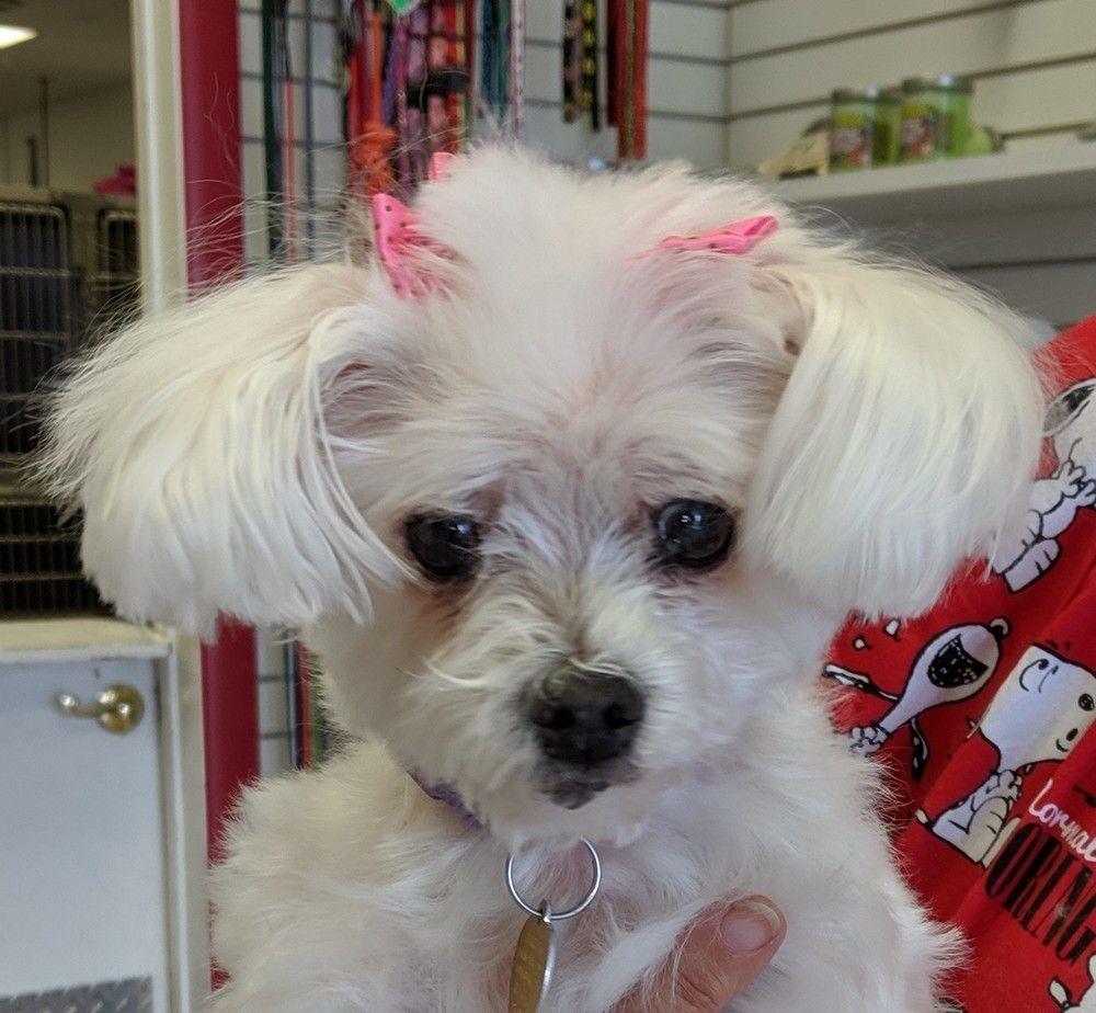 Adopt Rae on Dog adoption, Maltese dogs, Maltese