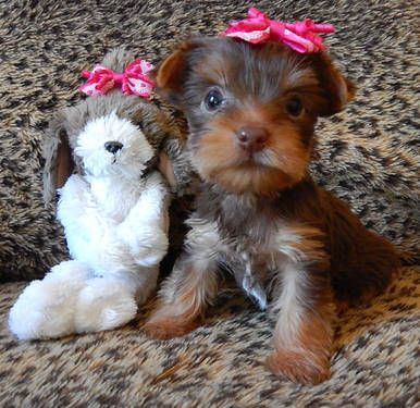 Chantilly Chocolate Teacup Yorkie Pups Born 7 28 2013 Teacup