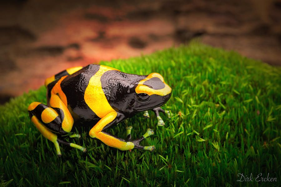 Yellow Banded Poison Dart Frog By Dirk Ercken Poison Dart Frogs