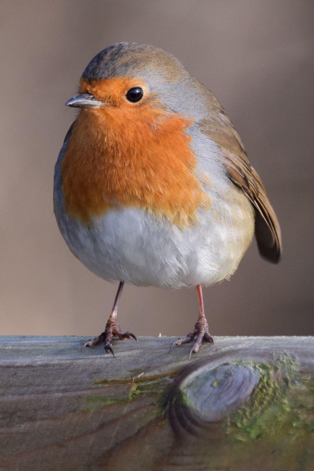 Bon Absolument Gratuit Rouge Gorge Oiseau Style Artiste Aux Multiples Facettes Marie Chl Rouge Gorge Oiseaux Aquatiques Oiseaux