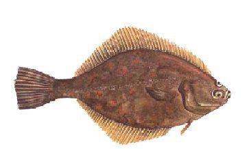 PASSERA. Platichthys flesus flesus