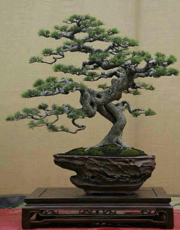 Pin von paul brunner auf bonsai pinterest bonsai baum - Japanische zimmerpflanzen ...