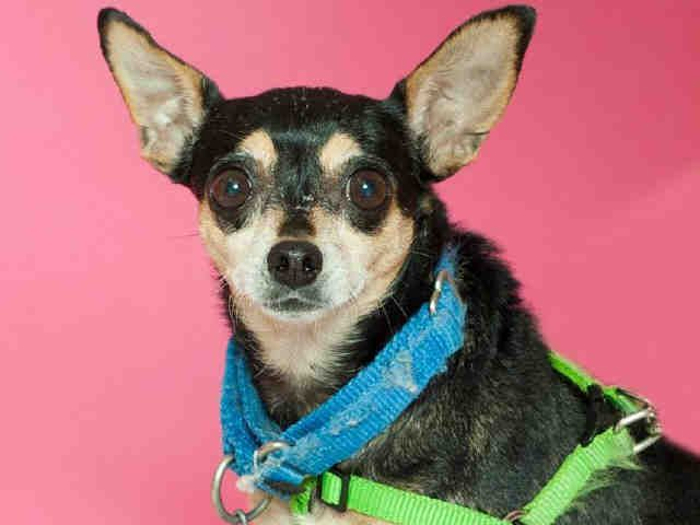 Meet Sweet Senior Chihuahua Min Pin Mix Paquita Animal Friends Pittsburgh Pa Petharbor Com Animal Shelter Adopt A Animal Shelter Humane Society Kittens