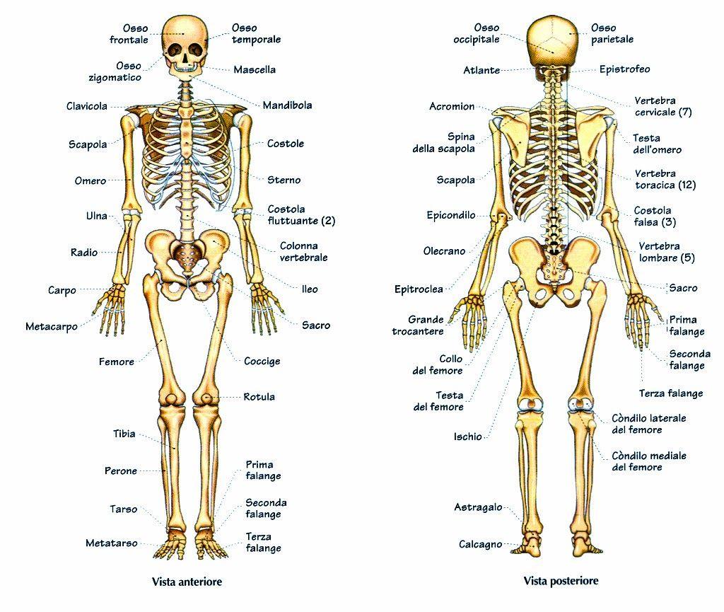 Mauro E I Post L Igiene Dell Apparato Scheletrico Anatomia