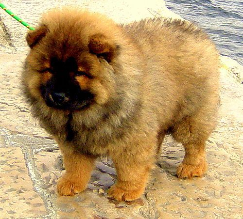 I Will Get Him And Name Him Winston Fluffy Animals Chow Chow