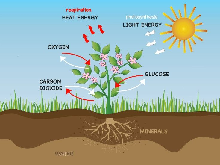 Photosynthesis respiration and plants in