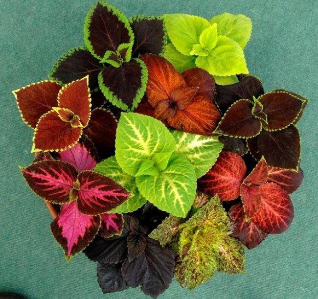 Los cóleos son plantas de sombra que no requieren fertilización o