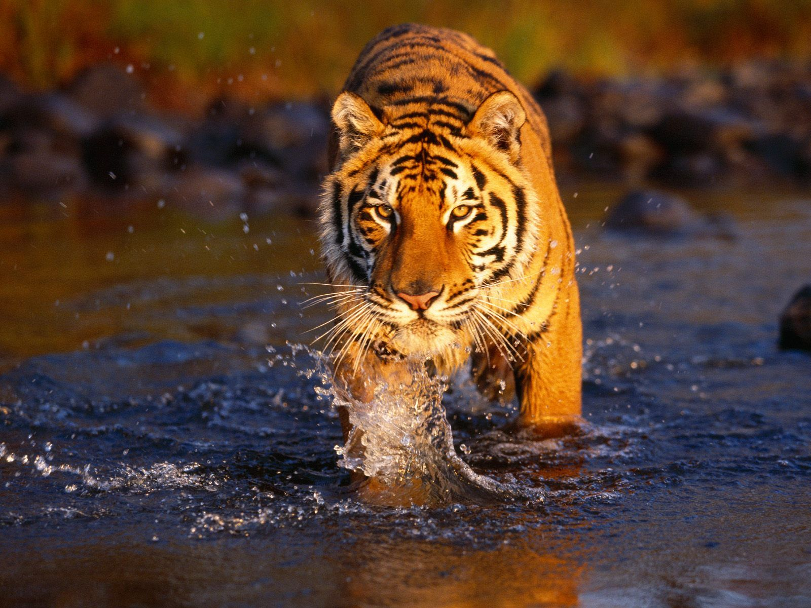 Great Wallpaper High Resolution Tiger - 152406863a34fb0cd88a412126766123  Gallery_85653.jpg