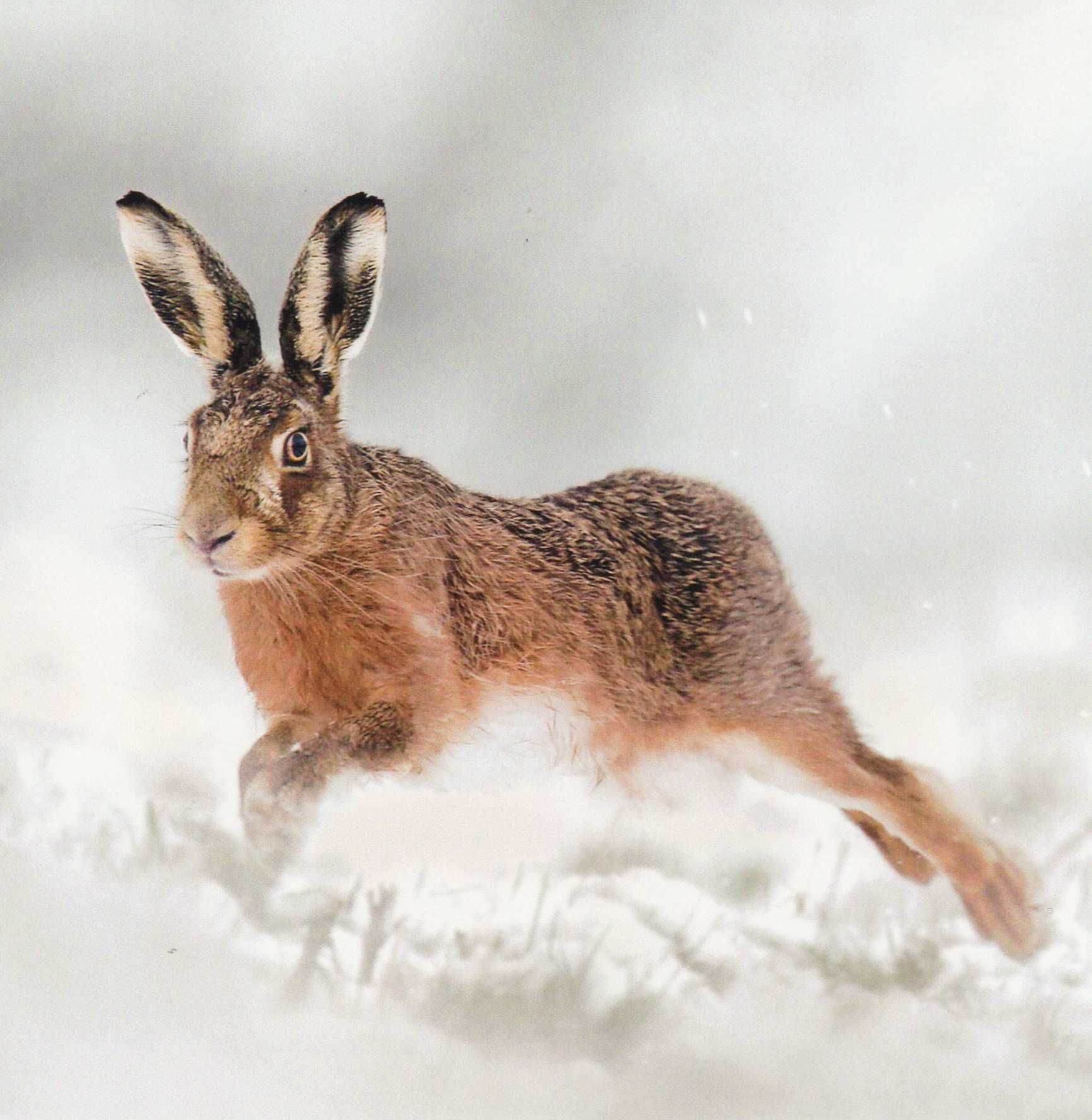 For The Wildlife Trusts - Gorgeous Christmas Cards. | Hares (and a ...
