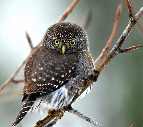 Angry owl ♡