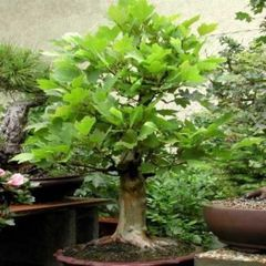 10 American Sycamore Bonsai Seeds Platanus Occidentalis American Plane Tree Or Buttonwood Seeds Bidorbuy Co Za Bonsai Seeds Bonsai Bonsai Tree