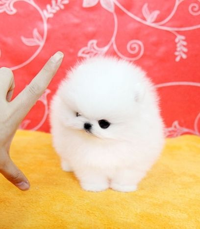 Teacup Ice White Pomeranian Wanted Toy Pomeranian Puppies Pomeranian Puppy Cute Pomeranian