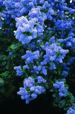 Ceanothus arb trewithen blue ceanothus frank p matthews for Blue flowering bush