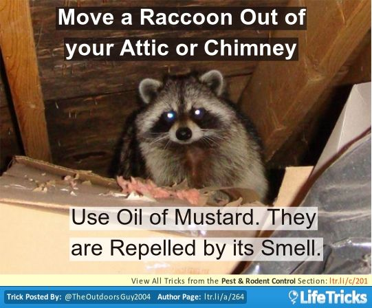 Pest Rodent Control Hacks Tips And Tricks Lifetricks Raccoon Repellent Rodent Control Raccoon