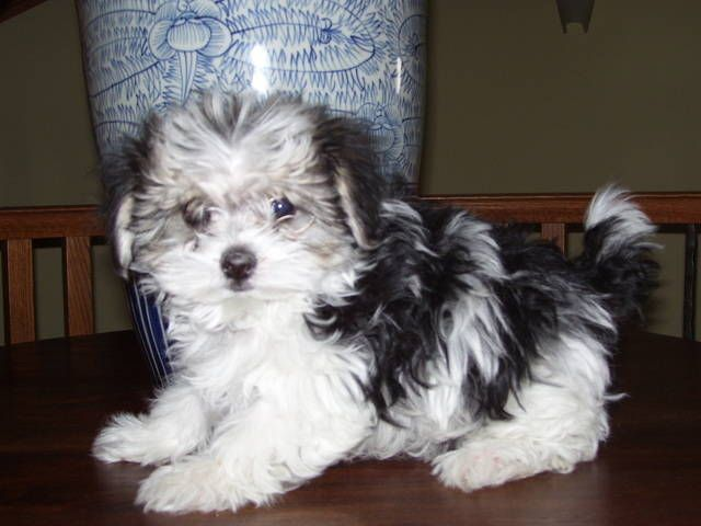 Morkie Puppies Black And White Zoe Fans Blog Morkie Puppies Morkie Puppy Black Poodle Puppy
