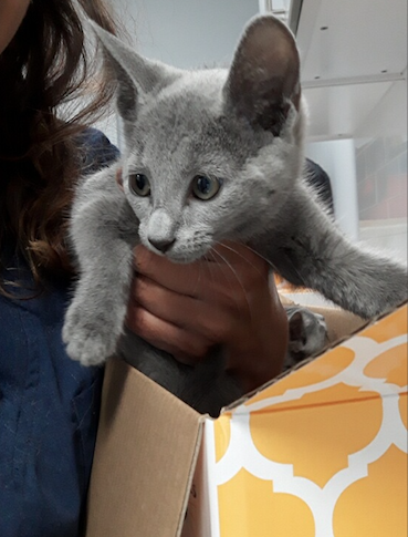 Russian Blue Short Hair Kittens For Sale In Westchester Ny Breeders Online Puppies And Kittens For Sale In 2020 Kitten For Sale Bengal Kittens For Sale Bengal Kitten