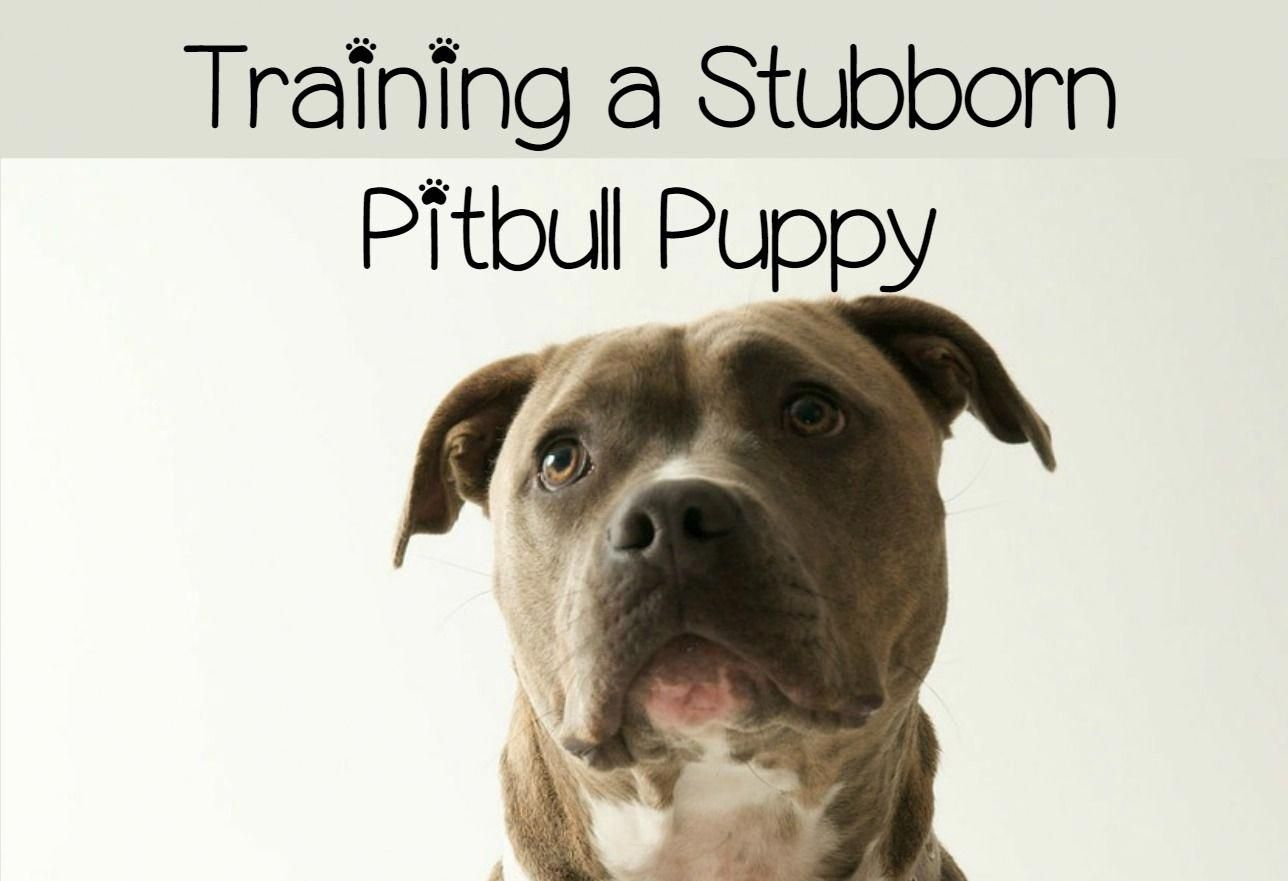 Follow These Pitbull Puppy Training Tips To Deal With The Extra
