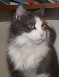 Sugar Candy Is An Adoptable Domestic Long Hair Gray And White Cat In Baltimore Md This Gorgeous Young Lady Lives Up To Her Name She Is As Sweet As They Com