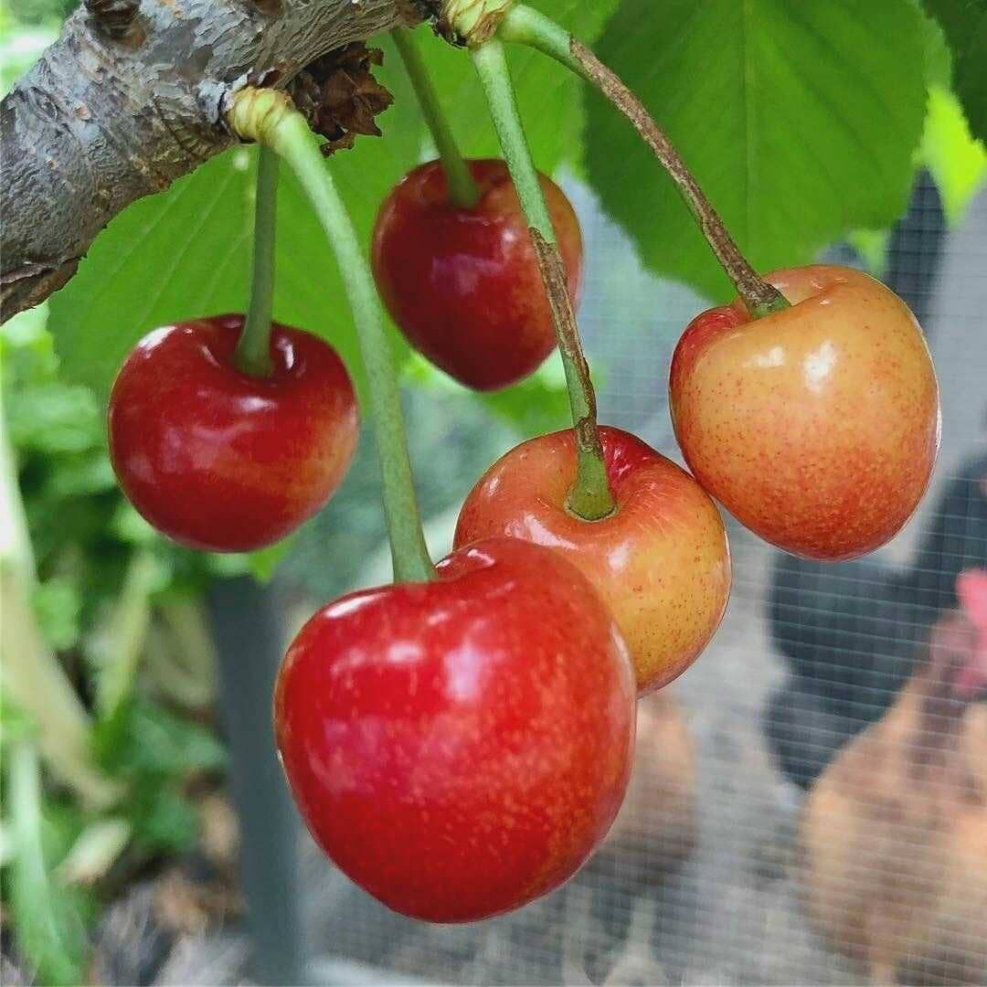 Did You Know A Cherry Tree Can Survive And Produce Fruit Around 100 Years It Can Grow 33 Feet In Height Cherr Gardening For Kids Fruit Sour Cherry