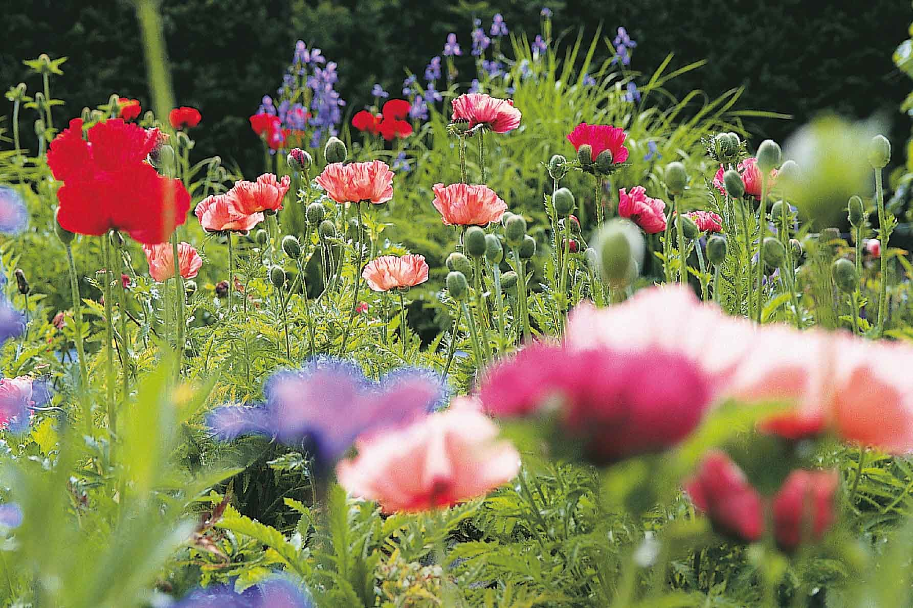 how to grow poppies from seed indoors