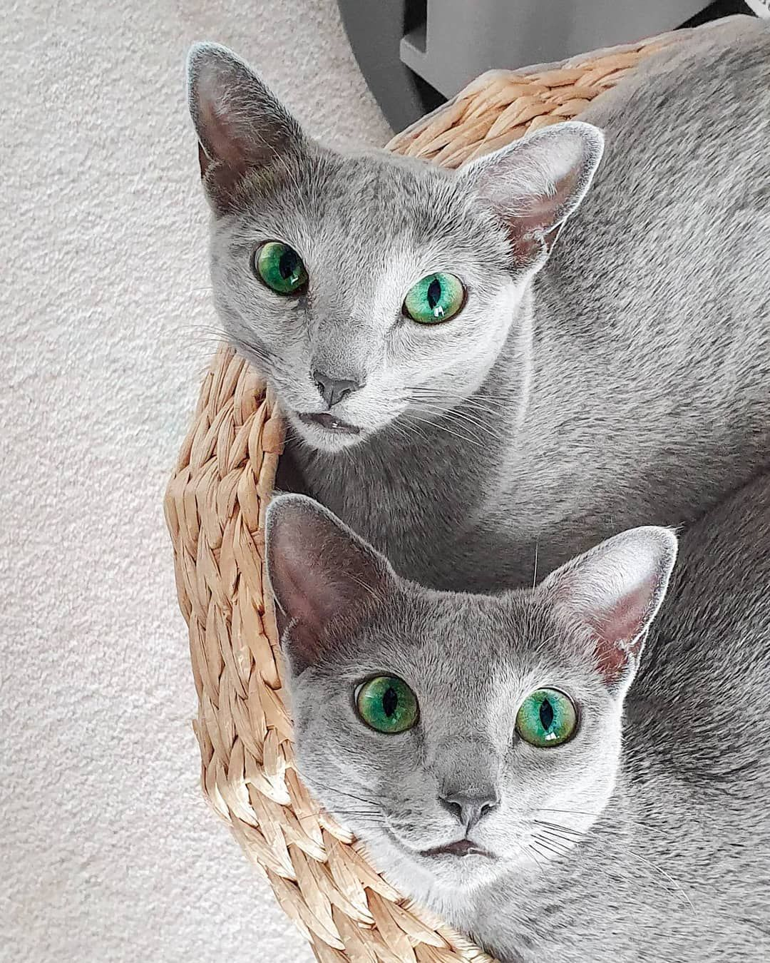 Follow For More Awesome Cat_Breeds RussianBlue Russian