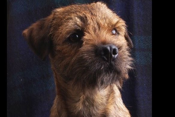 McHenry Border Terriers Has Border Terrier Puppies For