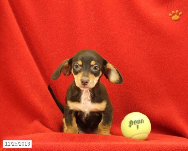 Yoda The Chiweenie Puppy For Sale I Love Animals Chiweenie