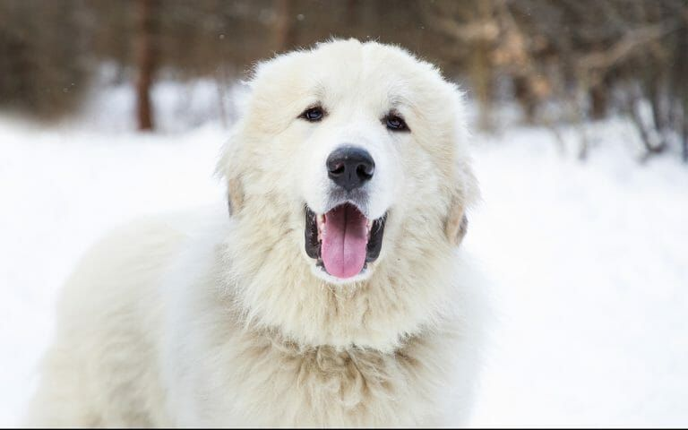 How Much Is A Great Pyrenees Puppy Ideas