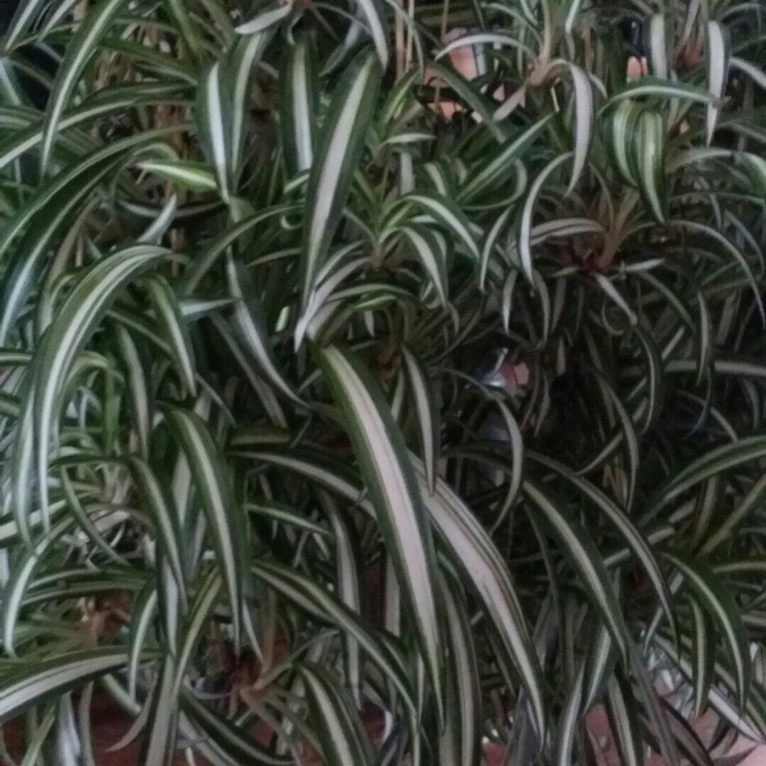 Unusual House Plants For Sale Thinking Spring Over Stock Sale New Lower Price On Spiderettes