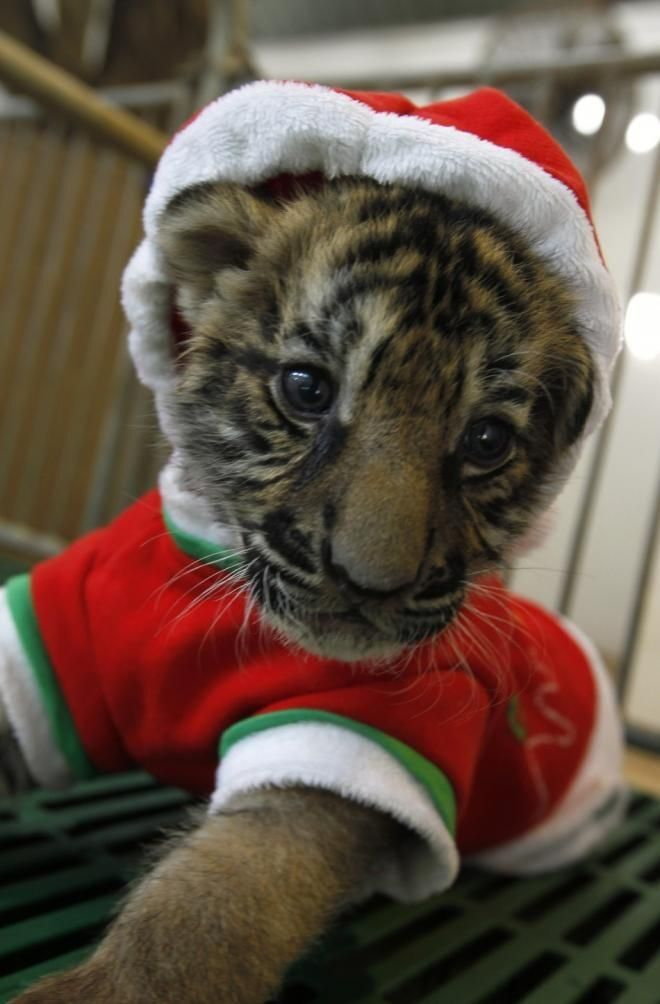 Image result for christmas tiger