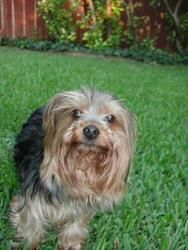 Adopt Fisher On Yorkie Dogs Dog Adoption Yorkshire Terrier