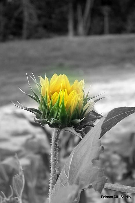 Sunflower here in my yard i made it black and white then a splash of color