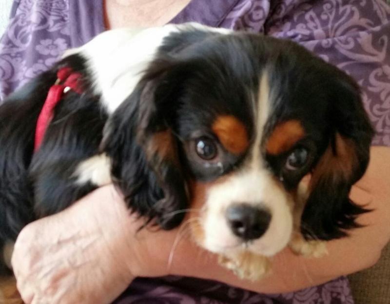 Adopt Flynn Sarasota Fl On Petfinder Cavalier King Charles Spaniel King Charles Spaniel Spaniel Dog