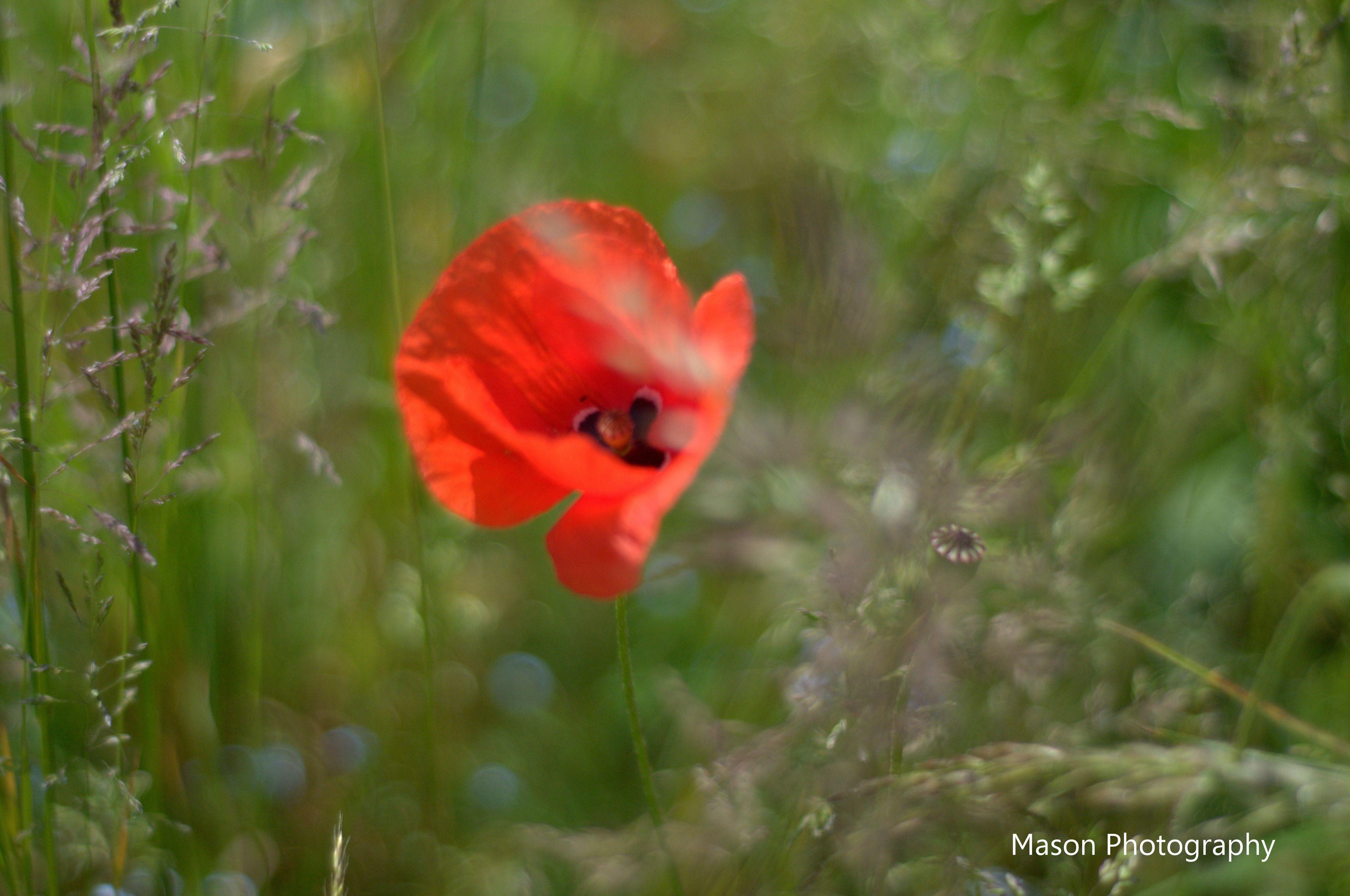 You Poppy You Pflanzen Mohn Blumen