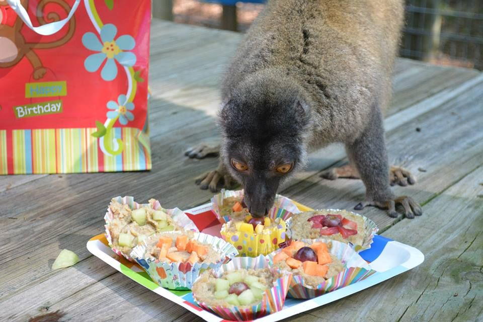 Baby helps herself to a party favor... Cupcakes made of crushed up primate chow, unflavored gelatin and bananas topped with his favorite treats: mango, strawberry, sweet potato, honeydew and grapes! www.noahs-ark.org #birthday #enrichment #lemur #noahsark