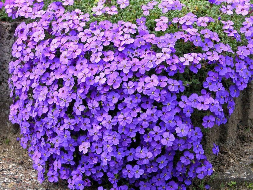 Piante perenni l 39 aubretia cruciferae adatta per giardini for Piante e fiori perenni