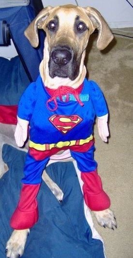 Haha Great Dane Is A Super Dog Animal Clothes Great Dane
