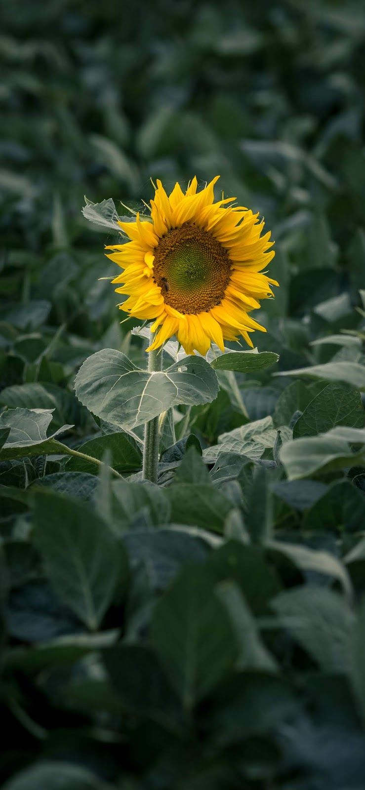 Lonely Sunflower Iphone Xs Max Wallpaper Beautiful Wallpaper