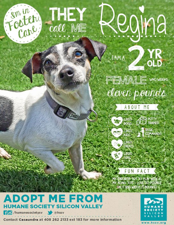 Chihuahua Mix Dog Available For Adoption Regina A 118818 Humane Society Silicon Valley Milpitas California Humane Society Akita Dog Foster Dog