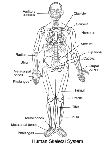 Human Skeletal System coloring page from Anatomy category