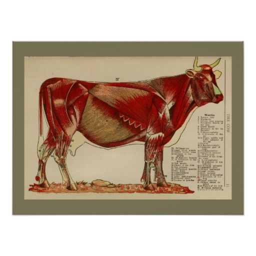 1917 Vintage Cow Muscle Anatomy Chart Poster | PHYSIOLOGIE animale ...