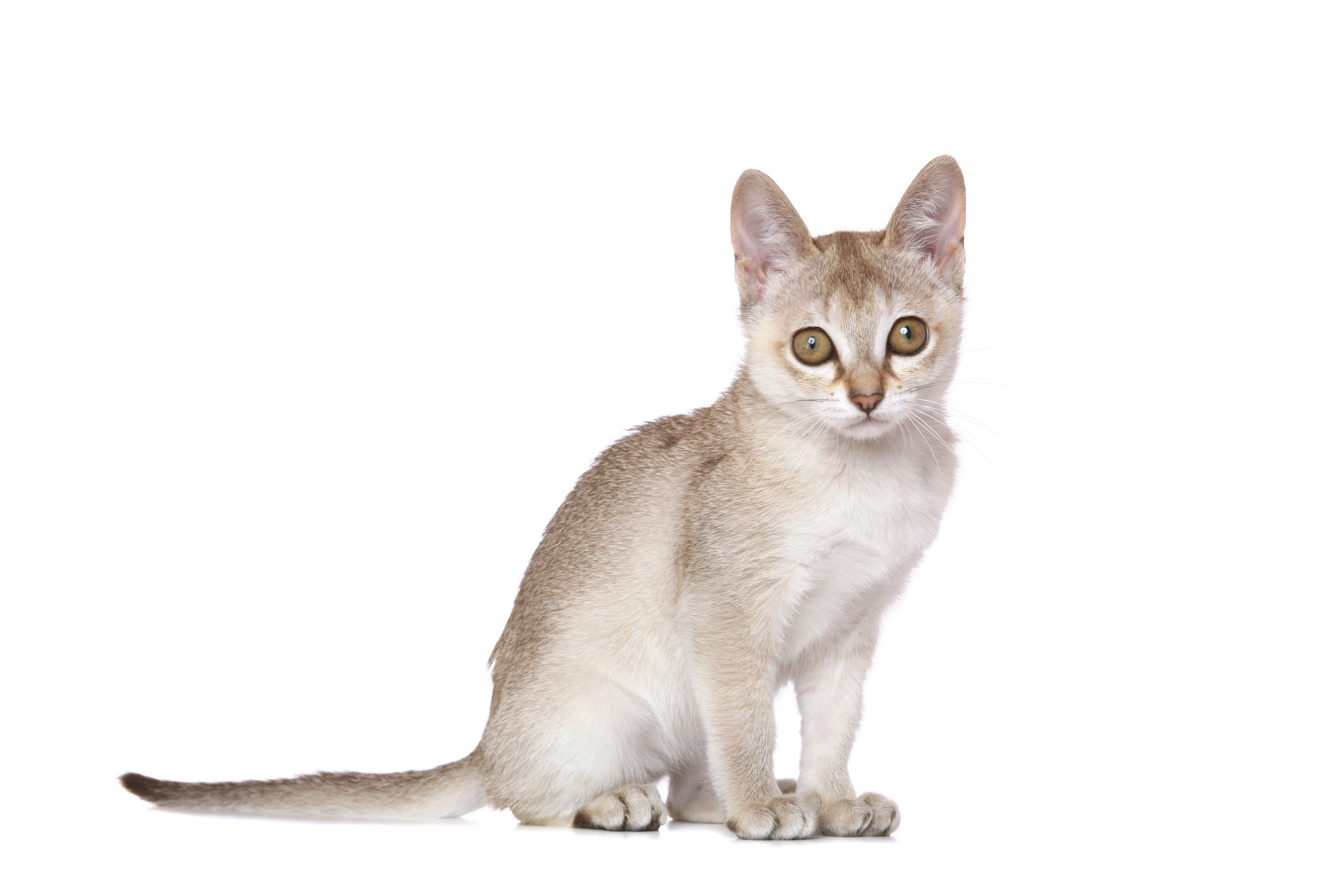The Top 10 Smartest Cat Breeds In The World With Images Small Cat Breeds Cat Breeds Singapura Cat