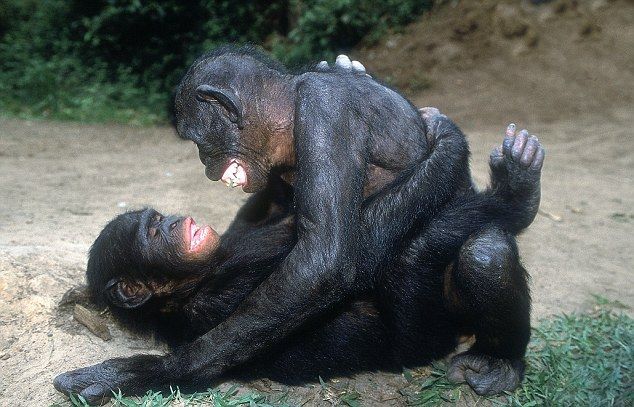 Amazing Bonobo Mating Love I Had No Idea Would Mate Face To Understand That Bonobos Are The Most Closely Related Primate Humans