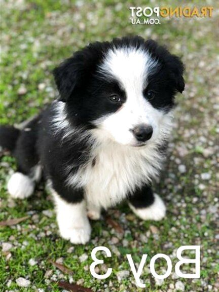 Border Collie Pups For Sale In Uk View 59 Bargains The World S