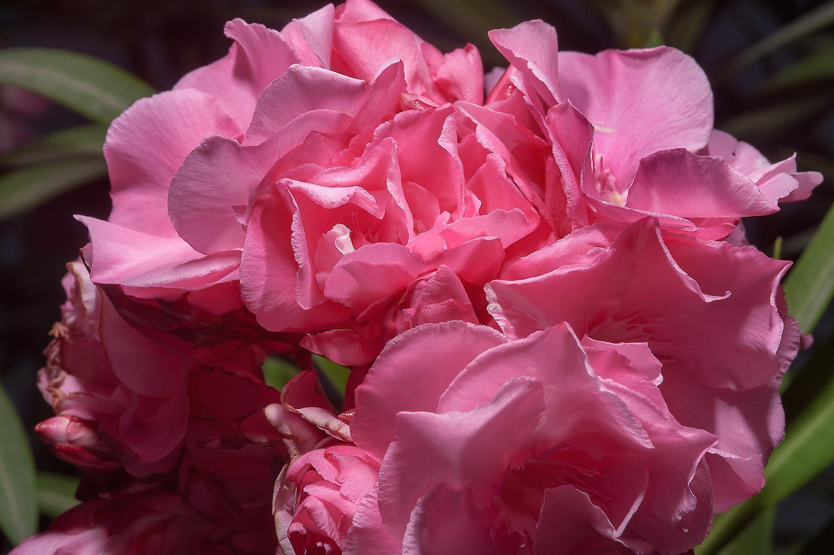 Majlis Al Taawon Street Doha Qatar Flowers Plants Rose