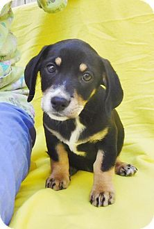Locust Fork Al Dachshund Beagle Mix Meet Emily B A Puppy For